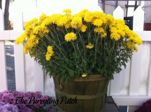 Yellow Mums in Basket