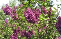 Tips for Caring for Lilacs: Cutting Back Lilac Bushes