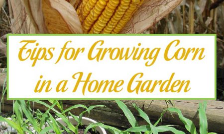 Tips for Growing Corn in a Home Garden 1