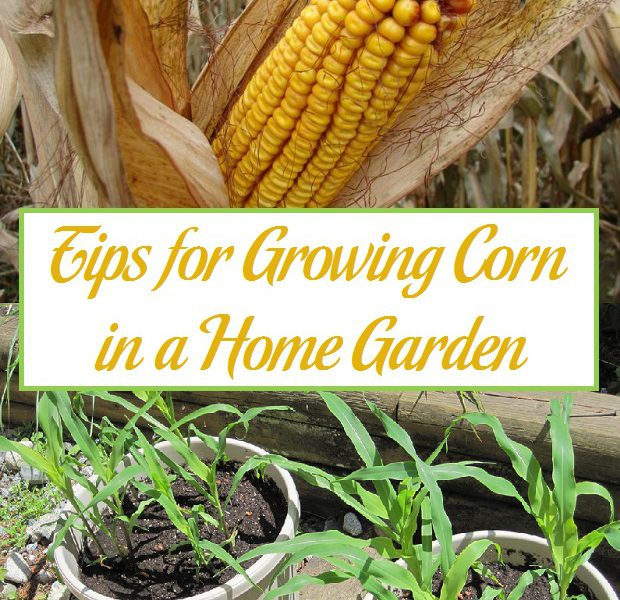 Tips For Growing Corn In A Home Garden Paing Patch