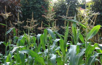Tips for Growing Corn in a Home Garden