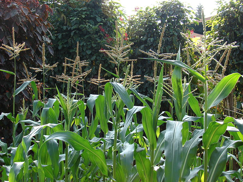 Tips for Growing Corn in a Home Garden | Parenting Patch