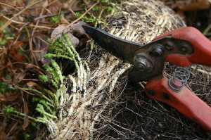 Using Pruning Shears