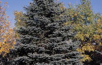 How to Plant a Blue Spruce Tree