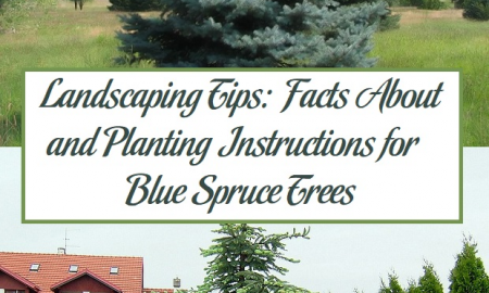 Landscaping Tips: Facts About and Planting Instructions for Blue Spruce Trees