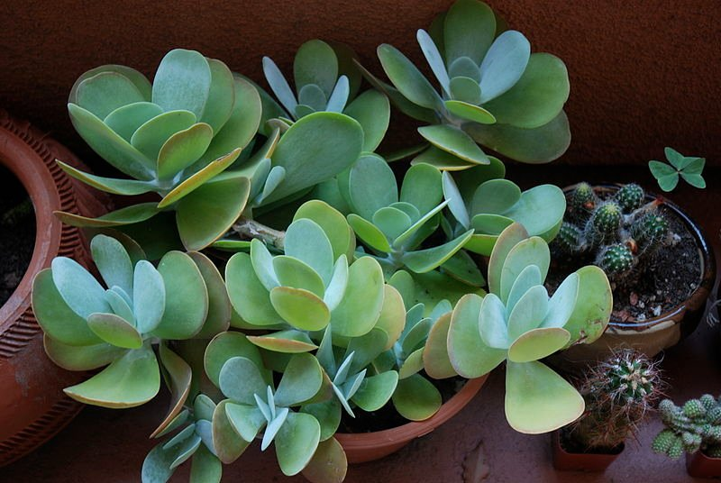 Gardening tips for choosing and growing cold weather Can succulents grow outside