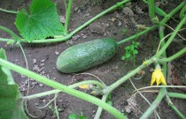 Tips for Planting Cucumbers in Your Garden