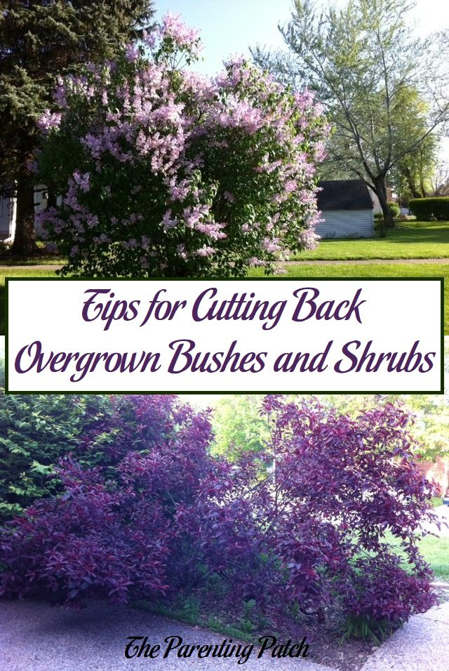Tips For Cutting Back Overgrown Bushes And Shrubs