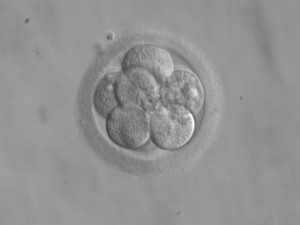 Embryo with Eight Cells