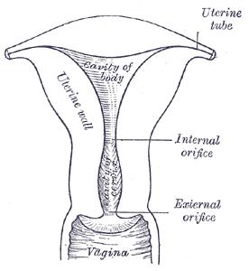 Uterus from Grey's Anatomy