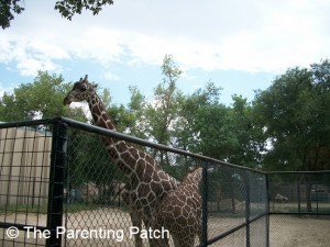 Giraffes at the Lee Richardson Zoo