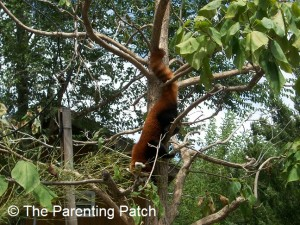Red Panda at the Lee Richardson Zoo 1