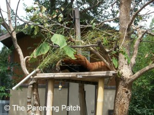 Red Panda at the Lee Richardson Zoo 2