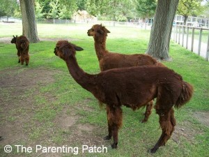 Alpacas at the Lee Richardson Zoo 1