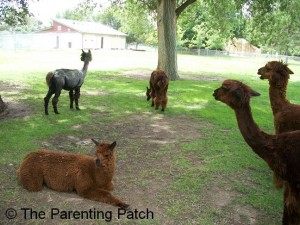 Alpacas at the Lee Richardson Zoo 2