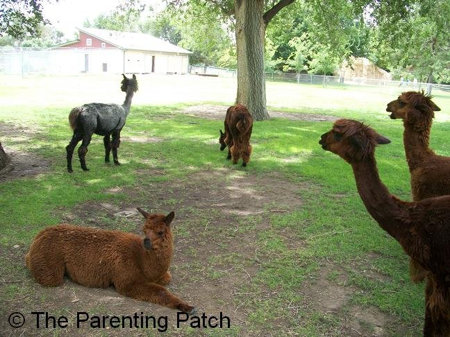 Alpacas at the lee richardson zoo in garden city kansas Garden city zoo