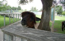 Alpacas at the Lee Richardson Zoo in Garden City, Kansas: Wordless Wednesday