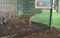Big Cats at the Lee Richardson Zoo in Garden City, Kansas: Wordless Wednesday