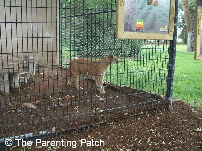 Mountain Lion at the Lee Richardson Zoo