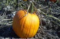 Gardening for the Holidays: How to Grow a Pumpkin Patch in Your Garden