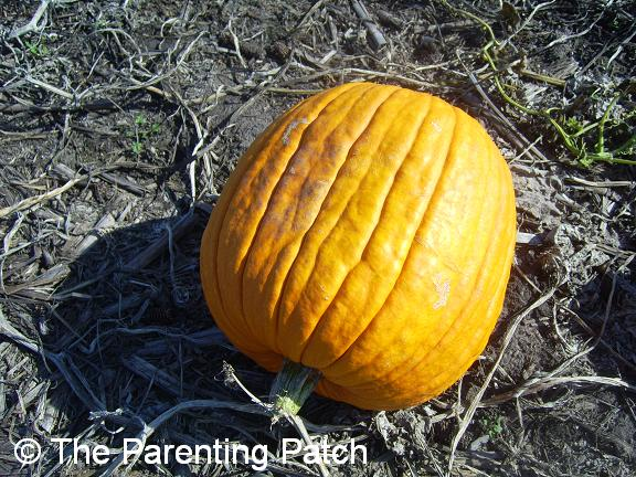 Pumpkin in Pumpkin Patch 2