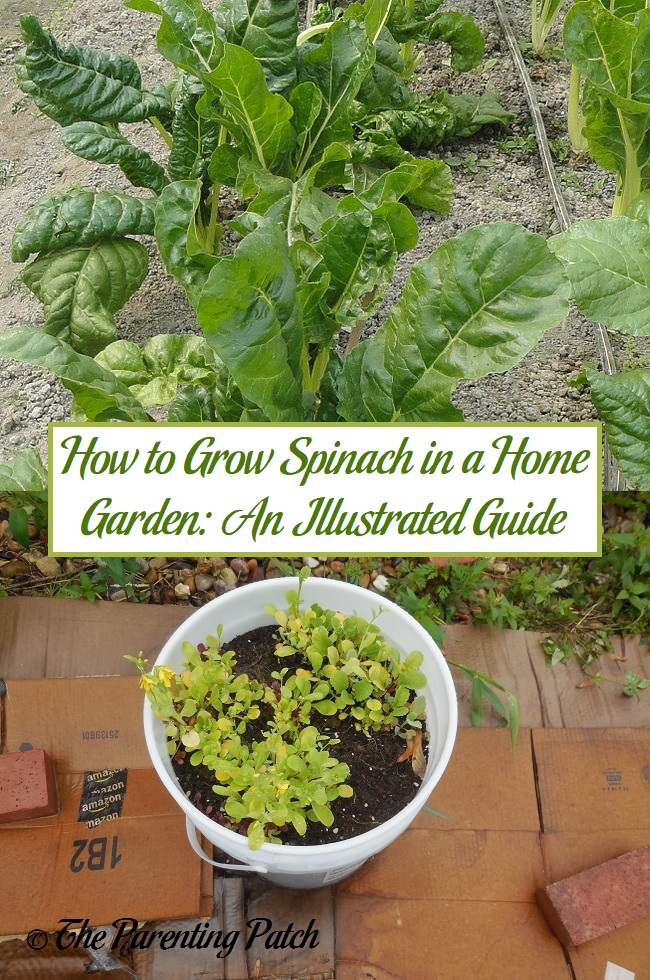 How to Grow Spinach in a Home Garden: An Illustrated Guide