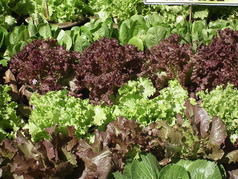 Growing Lettuce in the Shade