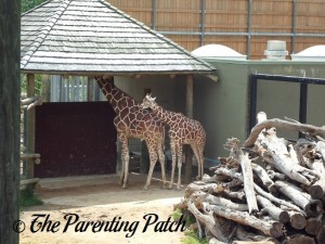 Giraffes at the Peoria Zoo