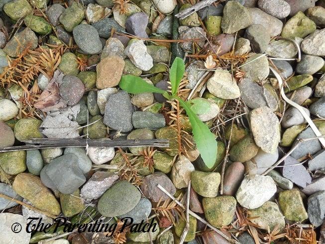 Weeds In Rocks