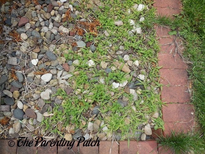 Getting Rid Of Thistles With Vinegar Green Gardening Tips