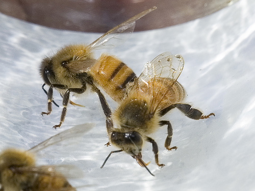 Bees in California