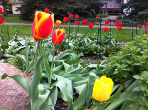 Red with Yellow and Yellow Tulips