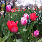 Pink with White and Red Tulips