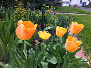 Yellow with Orange Tulips