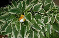 The Duck and the Hostas: The Rubber Ducky Project Week 31