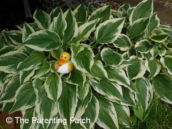 The Duck and the Hostas