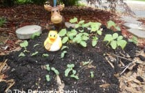 The Duck and the Cucumber Seedlings: The Rubber Ducky Project Week 32