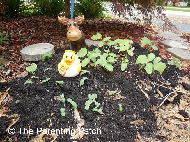 The Duck and the Cucumber Seedlings