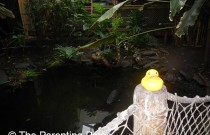 The Duck in the Tropical America Rainforest: The Rubber Ducky Project Week 40