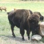 Close Up of Bison at Wildlife Prairie State Park 1