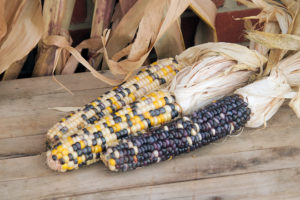 Cobs of Colored Corn