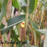 The Duck and the Corn Stalk