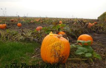 The Duck and the Pumpkin Patch: The Rubber Ducky Project Week 45