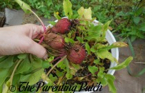 How to Grow Beets in a Home Garden: An Illustrated Guide