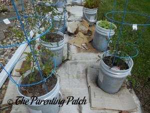 Tomato Plants Growing in Containers 6