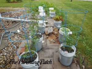Tomato Plants Growing in Containers 7