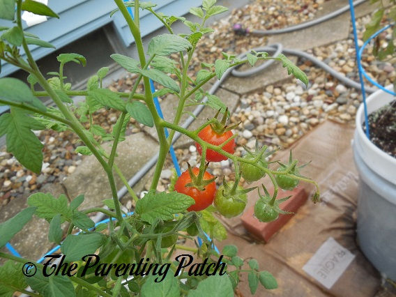 How To Grow Tomatoes In A Home Garden An Illustrated Guide