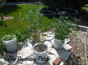 Full Grown Tomato Plants in Containers