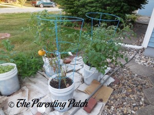 Tomatoes Ripening on Full Grown Plants in Containers
