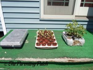 Small Tomato Plants in the Sun